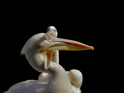 Pelican Wall Art - Photograph - Consuming Love... by Thierry Dufour