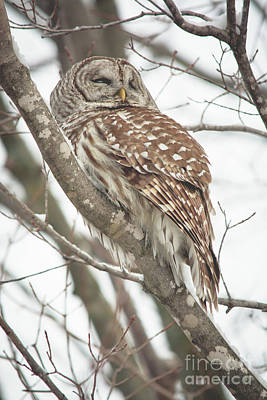 Photograph - Contemplating Owl by Cheryl Baxter