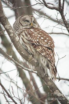 Photograph - Contemplating Owl by Cheryl Baxter
