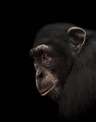 Chimpanzee Photograph - Contemplation by Paul Neville