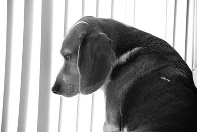 Art Print featuring the photograph Contemplative Beagle by Jennifer Ancker