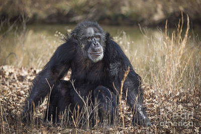 Photograph - Contemplative Chimpanzee by Jemmy Archer