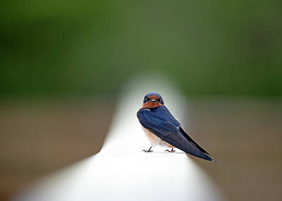 Photograph - Contemporary Swallow by Stephen Flint