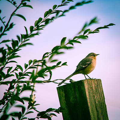 Wooden Fence Post Photograph - Content Mockingbird by Parker Cunningham