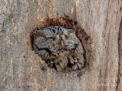 Photograph - Content Screech Owl by Cheryl Baxter