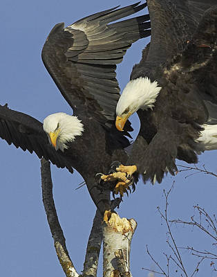 Eagle Photograph - Contested Perch by Tim Grams