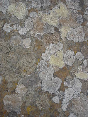 Photograph - Continents - Map Lichens On Rock by Robert Schaelike