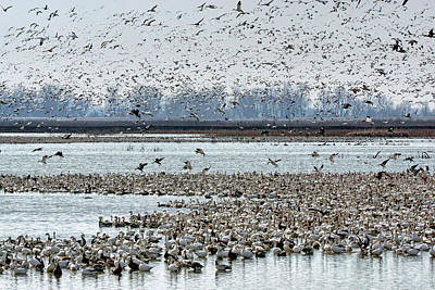 Photograph - Controlled Chaos - Snow Geese by Nikolyn McDonald