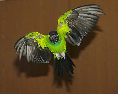 Photograph - Conure Parrot by Jack Moskovita