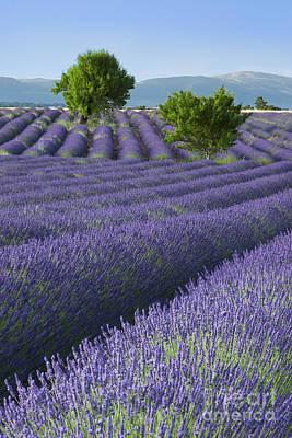 Photograph - Converging Lavender Fields by Brian Jannsen