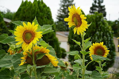Photograph - Conversing Sunflowers by Stephen Daddona
