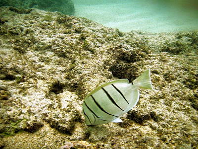 Hawaiian Fish Photograph - Convict Tang by Michael Peychich