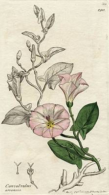 Color Field Drawing - Convolvulus Arvensis-field Bindweed by Vintage Design Pics