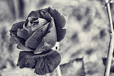 Photograph - Cool Black Rose by Sharon Popek