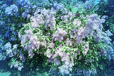 Photograph - Cool Blue Lilac Bushes by Aimee L Maher Photography and Art Visit ALMGallerydotcom