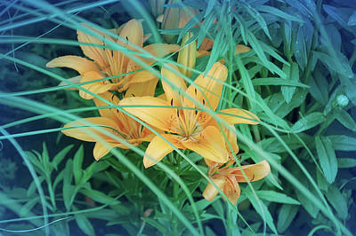 Photograph - Cool Blue Orange Tiger Lilies by Aimee L Maher Photography and Art Visit ALMGallerydotcom