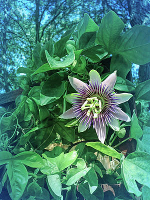 Photograph - Cool Blue Passion Flower 3 by Aimee L Maher Photography and Art Visit ALMGallerydotcom