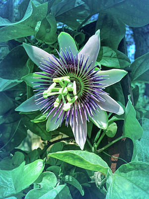 Photograph - Cool Blue Passion Flower 4 by Aimee L Maher Photography and Art Visit ALMGallerydotcom