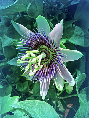 Photograph - Cool Blue Passion Flower 5 by Aimee L Maher Photography and Art Visit ALMGallerydotcom