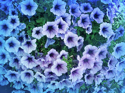 Photograph - Cool Blue Purple Petunias by Aimee L Maher ALM GALLERY