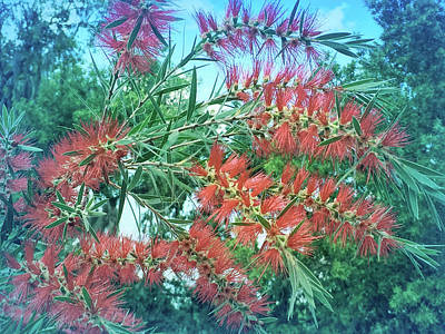 Photograph - Cool Blue Red Bottlebrush by Aimee L Maher ALM GALLERY