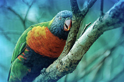 Photograph - Cool Blue Resting Lorikeet by Aimee L Maher ALM GALLERY