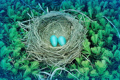 Photograph - Cool Blue Robins Nest by Aimee L Maher Photography and Art Visit ALMGallerydotcom