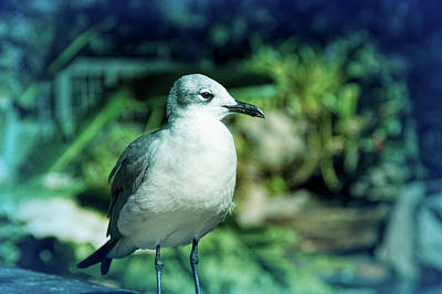 Photograph - Cool Blue Seagull by Aimee L Maher Photography and Art Visit ALMGallerydotcom