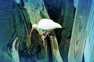 Photograph - Cool Blue White Ibis Bird by Aimee L Maher Photography and Art Visit ALMGallerydotcom