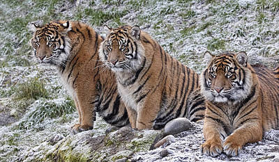 Photograph - Cool Sumatran Tigers by Wes and Dotty Weber