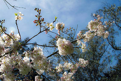 Photograph - Cool Cherry Blossoms by Bonnie Follett
