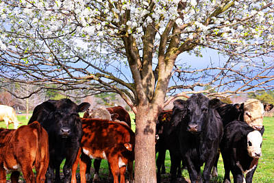 Photograph - Cool Cows by Kelly Reber