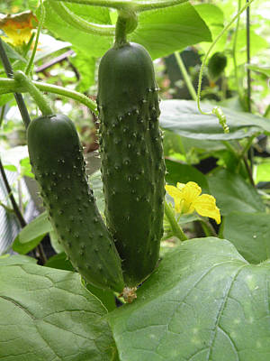 Photograph - Cool Cucumbers by rd Erickson