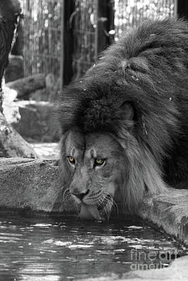 Feline Photograph - Cool Drink Of Water  Black And White  T O C by Judy Whitton