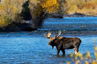 Photograph - Cool Moose by Shari Sommerfeld