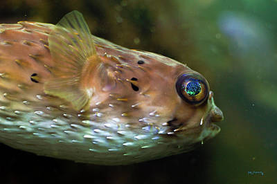 Photograph - Cool Puffer Fish by Ken Figurski
