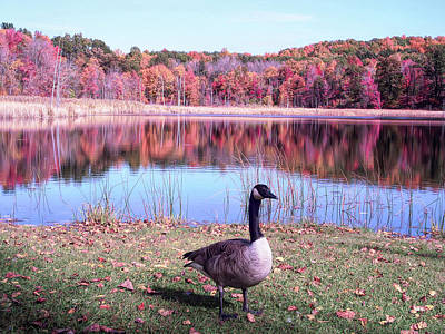 Photograph - Cool Sunset Autumn Pond Goose by Aimee L Maher Photography and Art Visit ALMGallerydotcom