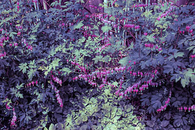 Photograph - Cool Sunset Bed Of Bleeding Hearts by Aimee L Maher Photography and Art Visit ALMGallerydotcom