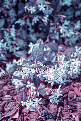 Photograph - Cool Sunset Jasmine In Bloom by Aimee L Maher Photography and Art Visit ALMGallerydotcom