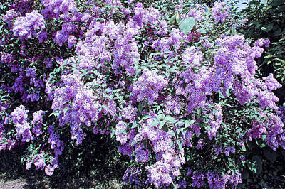 Photograph - Cool Sunset Lilac Bushes by Aimee L Maher Photography and Art Visit ALMGallerydotcom