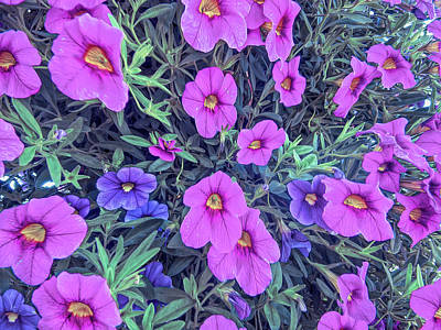 Photograph - Cool Sunset Pink And Purple Petunias by Aimee L Maher Photography and Art Visit ALMGallerydotcom