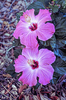 Photograph - Cool Sunset Pink Hibiscus Blloms Vertical by Aimee L Maher Photography and Art Visit ALMGallerydotcom