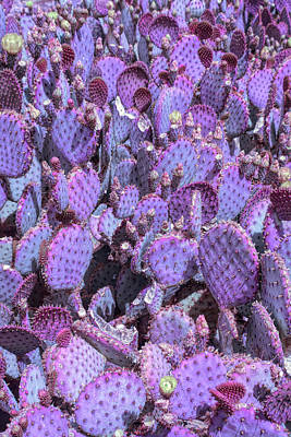 Photograph - Cool Sunset Purple Prickly Pear 3 by Aimee L Maher Photography and Art Visit ALMGallerydotcom