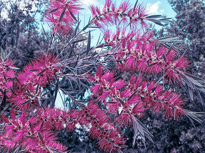 Photograph - Cool Sunset Red Bottlebrush by Aimee L Maher Photography and Art Visit ALMGallerydotcom