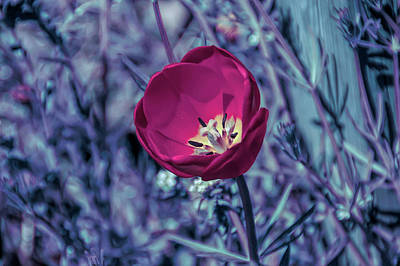 Photograph - Cool Sunset Red Tulip by Aimee L Maher Photography and Art Visit ALMGallerydotcom