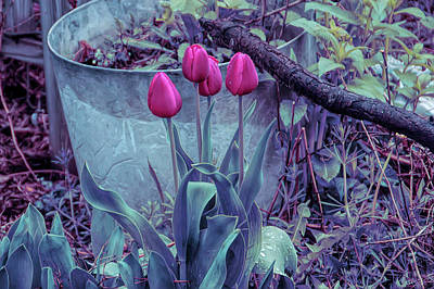 Photograph - Cool Sunset Red Tulips by Aimee L Maher Photography and Art Visit ALMGallerydotcom