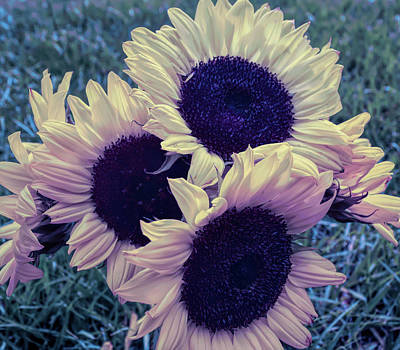Photograph - Cool Sunset Sunflower Bouquet by Aimee L Maher Photography and Art Visit ALMGallerydotcom
