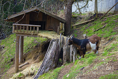 Photograph - Coombs Goat House by Donna L Munro