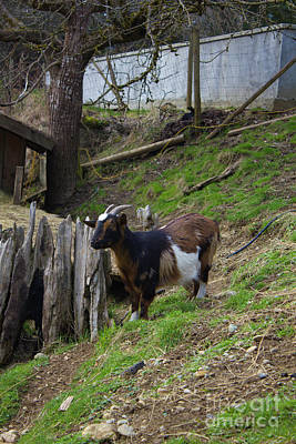 Photograph - Coombs Goat Star And Scene by Donna L Munro