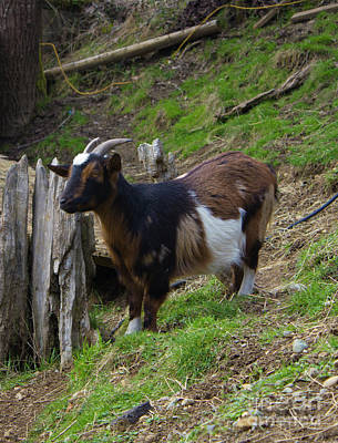 Photograph - Coombs Goat Star Close Up by Donna L Munro